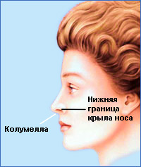 Колумелла - кожная перемычка между ноздрями. Считается красивым, когда колумелла опущена чуть ниже уровня крыльев носа